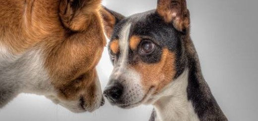 Dog Flu Virus Spreads Nose-to-Nose Between Dogs